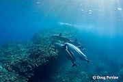 Hawaiian spinner dolphin or Gray's spinner dolphin or long-snouted spinner dolphins, Stenella longirostris longirostris, swim over coral-covered lava rock arch, Kaupulehu, Kona Coast, Big Island, Hawaii ( Central Pacific Ocean )
