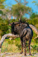 Blue wildebeest (gnu), near Kwando Concession, Linyanti Marshes, Botswana.