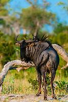 Blue wildebeest (gnu), near Kwando Concession, Linyanti Marshes, Botswana.