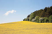 Field of bright yellow rapeseed in flower (canola) under a blue sky next to woodland woodland. Seven Springs, Gloucestershire, England..Rapeseed (Brassica napus), also known as rape, oilseed rape, rapa, rappi, rapaseed and (in the case of one particular group of cultivars, canola). Rapeseed is grown for the production of animal feed, vegetable oil for human consumption, and biodiesel