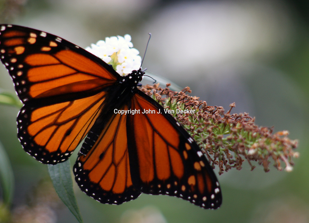 Monarch Butterfly, Danaus plexippus, with wings spread