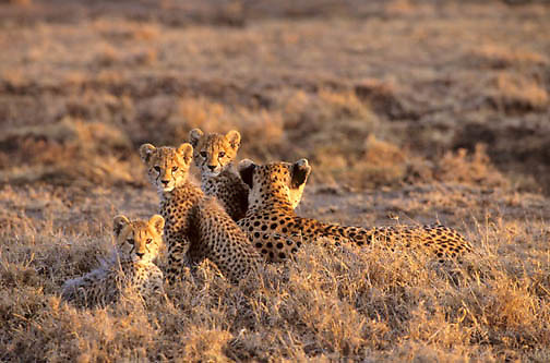 Cheetah, (Acinonyx jubatus) Mother and cubs on Serengeti Plains. Masai Mara Game Reserve. Kenya. Africa.