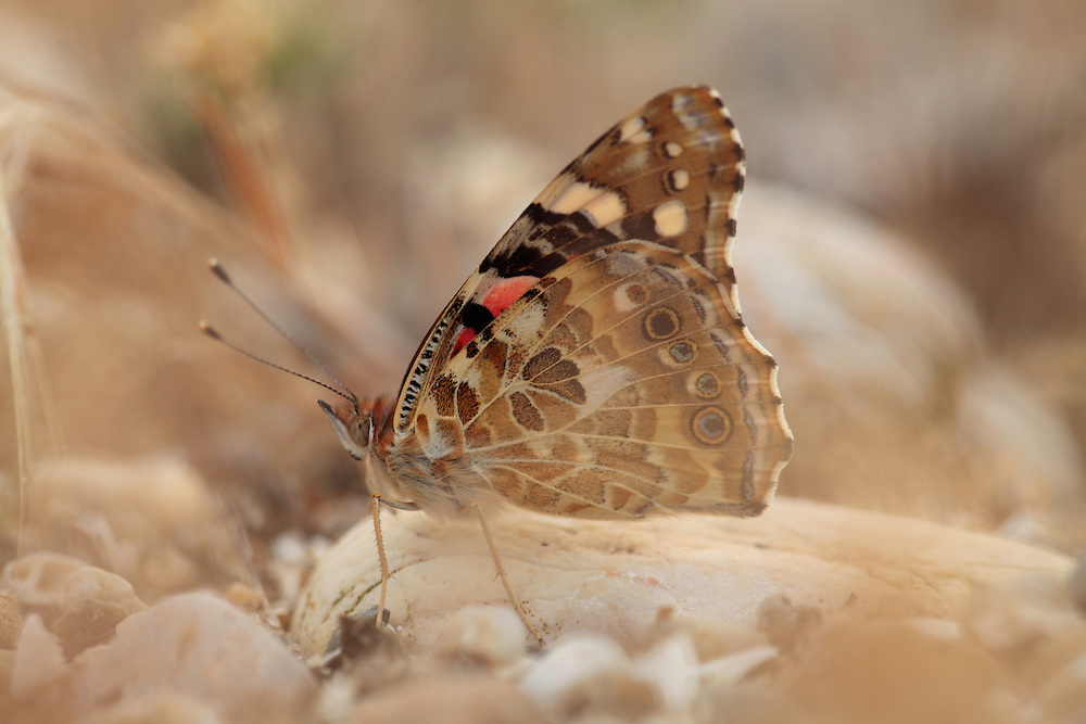 Painted Lady butterfly, Cynthia cardui. <br /> Stenje region, Lake Macro Prespa (850m) <br /> Galicica National Park, Macedonia, June 2009<br /> Mission: Macedonia, Lake Macro Prespa /  Lake Ohrid, Transnational Park<br /> David Maitland / Wild Wonders of Europe