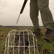 American mink shot as part of control program. Upper Thames. Control means killing and across the UK mink are being killed to protect water voles.