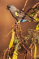 Africa, Namibia, Damaraland, Namib,  Movani, Rüppell's parrot ,Poicephalus rueppellii,