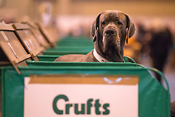 © Licensed to London News Pictures. 06/03/2014. Birmingham, UK Owners and dogs attend the first day of Crufts 2014 at the National Exhibition Centre, Birmingham, today 6th March 2014. Crufts, a four day competition, is the worlds largest dog show, attracting over 22,000 dogs and owners. It had its first show in 1891. Photo credit : Stephen Simpson/LNP