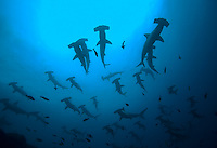 Open ocean schooling hammerhead sharks viewed from underwater, below surface and school.