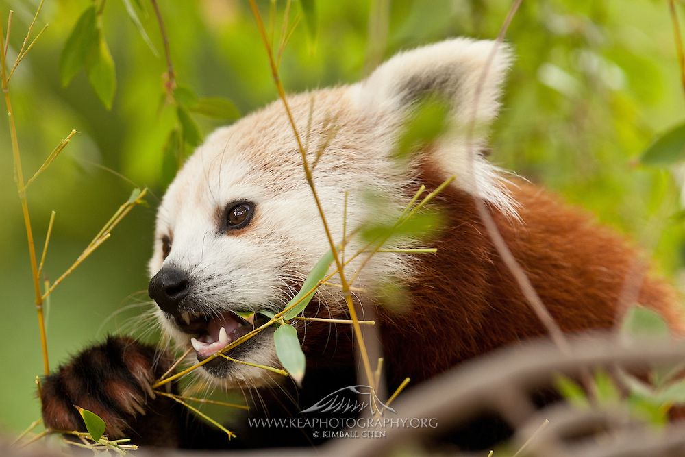 Red Panda, eating bamboo, captive