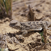 Horned lizard, horny toad, Shirley Basin, Wyoming.