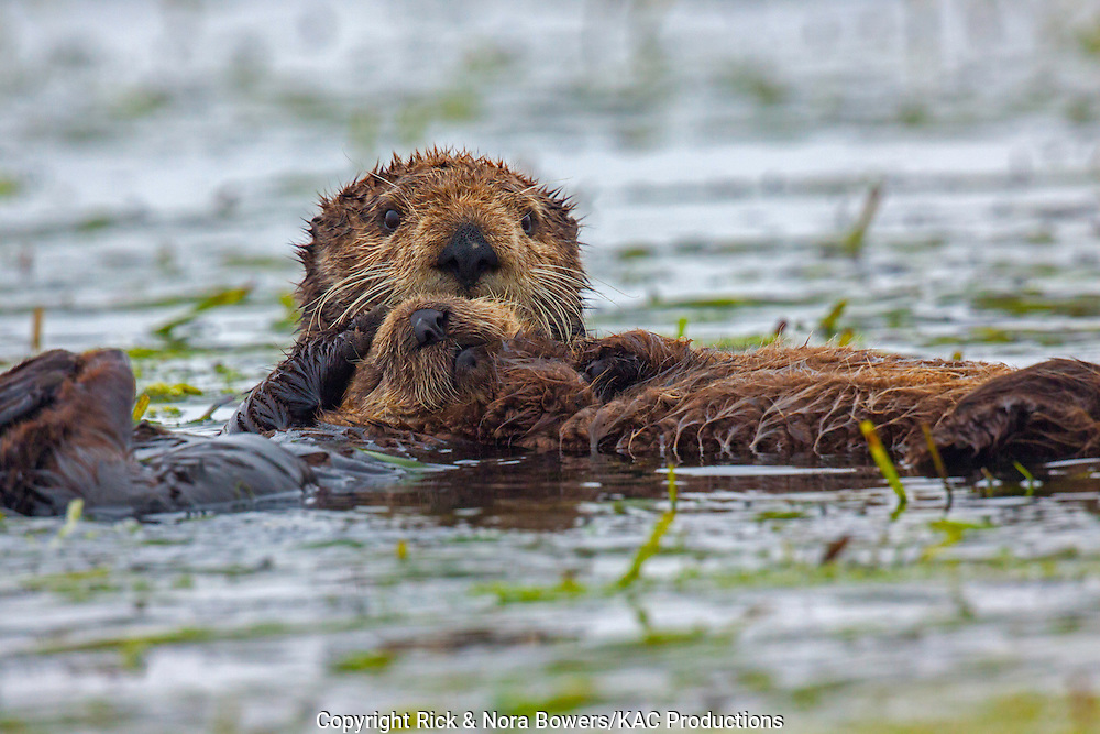 Sea Otter <br /> Enhydra lutris <br /> Moss Landing, California, United States<br /> 24 June        AdultFemalw with young.      Mustelidae
