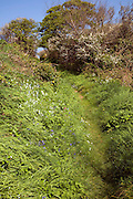 Hedgerow blossom and wildflowers lines a narrow footpath, Island of Sark, Channel Islands, Great Britain