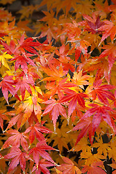 Brilliant colored leaves of a Japanese Maple.