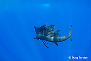 Pacific sailfish, Istiophorus platypterus, shows the supple flexibility of its body while using its sail as a foil to make a sudden turn, with the elongated ventral fins extended for added control; Vava'u, Kingdom of Tonga, South Pacific