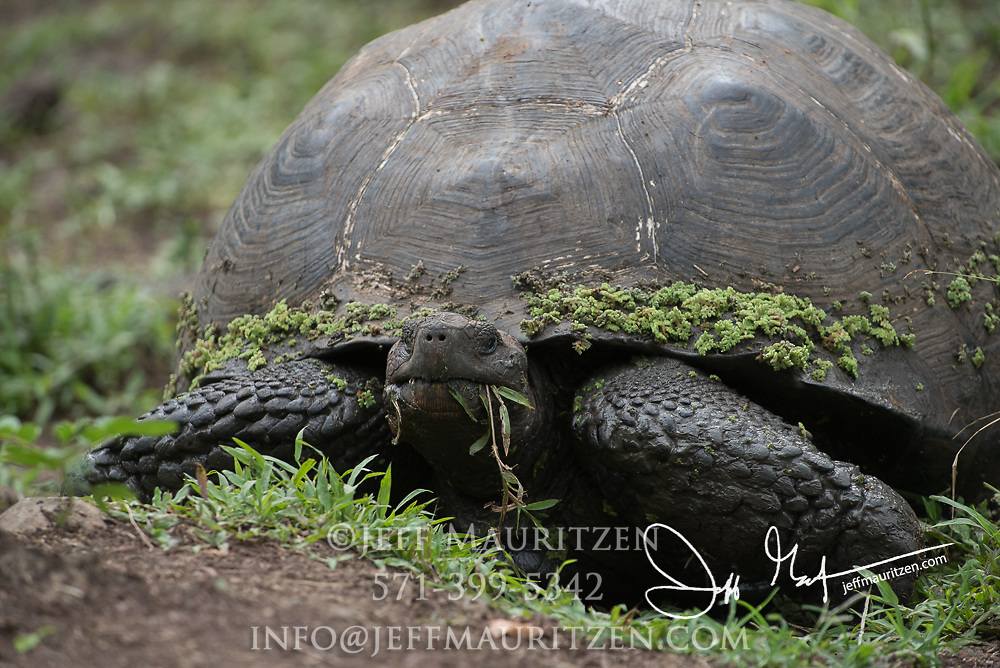 A Galapagos Giant tortoise eats vegetation in the Santa Cruz highlands.