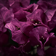 """""""Tuesday Morning"""" <br /> <br /> Light and deep purple bougainvillea in this lovely low key floral image!"""
