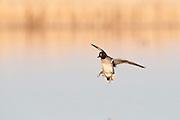 Green-winged Teal, Anas crecca, male, Marshall County, South Dakota