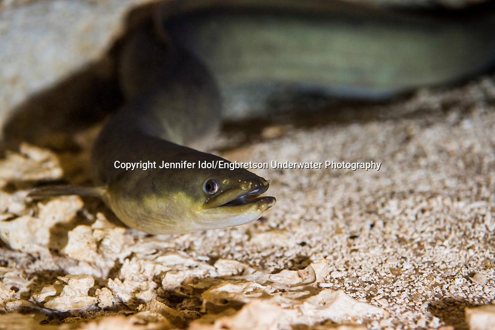 American Eel<br /> <br /> Jennifer Idol/Engbretson Underwater Photography