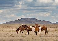Wild horses, Navajoland, Arizona