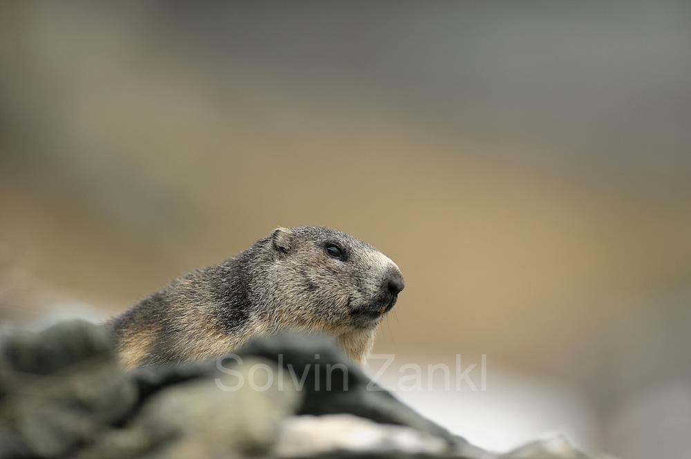 Alpenmurmeltier (Marmota marmota) Nationalpark Hohe Tauern, Österreich