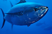 [captive] Atlantic Bluefin Tuna (Thunnus thynnus) [size of single organism: 150 cm]