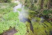 Freshwater water plants in the River Alde, near Blaxhall, Suffolk, England, UK