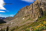 Arrowleaf Balsomroot wildflowers along Cliff Mountain and the Chinese Wall in the Bob Marshall Wilderness, Montana, USA