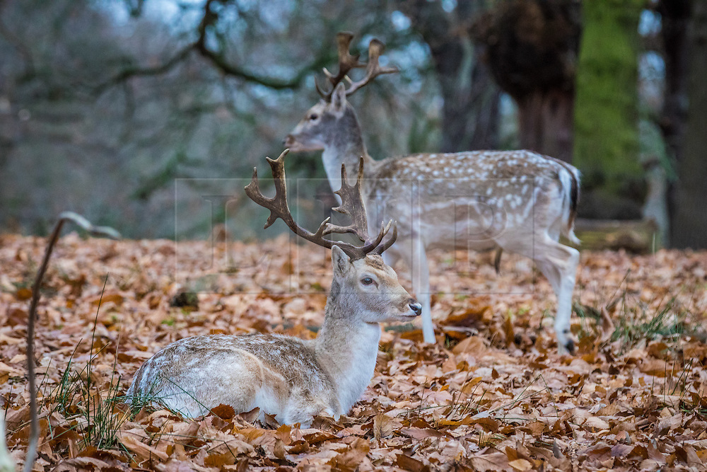 © Licensed to London News Pictures. 21/12/2016. London, UK. Young deer resting in the forest in Richmond Park on winter solstice, the shortest day of the year. Photo credit: Rob Pinney/LNP