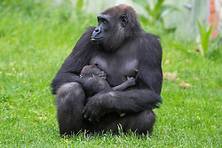 @Licensed to London News Pictures 02/06/2016. First time western lowland gorilla mother Oundi carries her yet to be named 2 week old baby at Port Lympne Reserve in Kent today. Oundi and silverback father Kouillou are part of the successful breeding programmes for critiaclly endangered western lowland gorillas at the reserve. Photo credit: Manu Palomeque/LNP