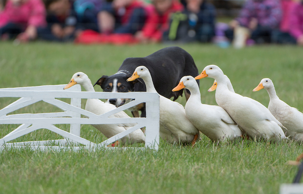 Donald Stuart puts his dog Rose through her paces herding ducks at the Canterbury A&P Show, Christchurch, New Zealand, November 11, 2015. Credit: SNPA /  David Alexander.
