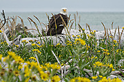 A Bald Eagle perched on driftwood surrounded by Beach Sunflowers at the McNeil River State Game Sanctuary on the Cook Inlet, Alaska. The remote site is accessed only with a special permit and is the world's largest seasonal population of brown bears in their natural environment.