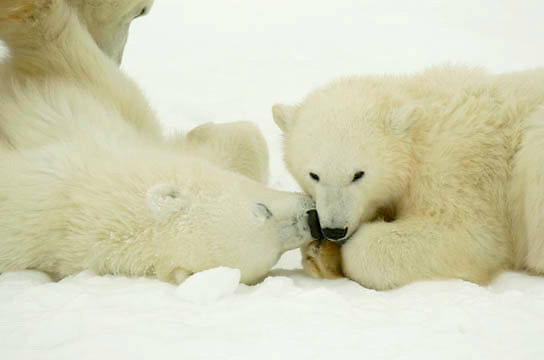 Polar Bear (Ursus maritimus) two cubs nuzzle each other. Cape Churchill, near Churchill, Manitoba. November.