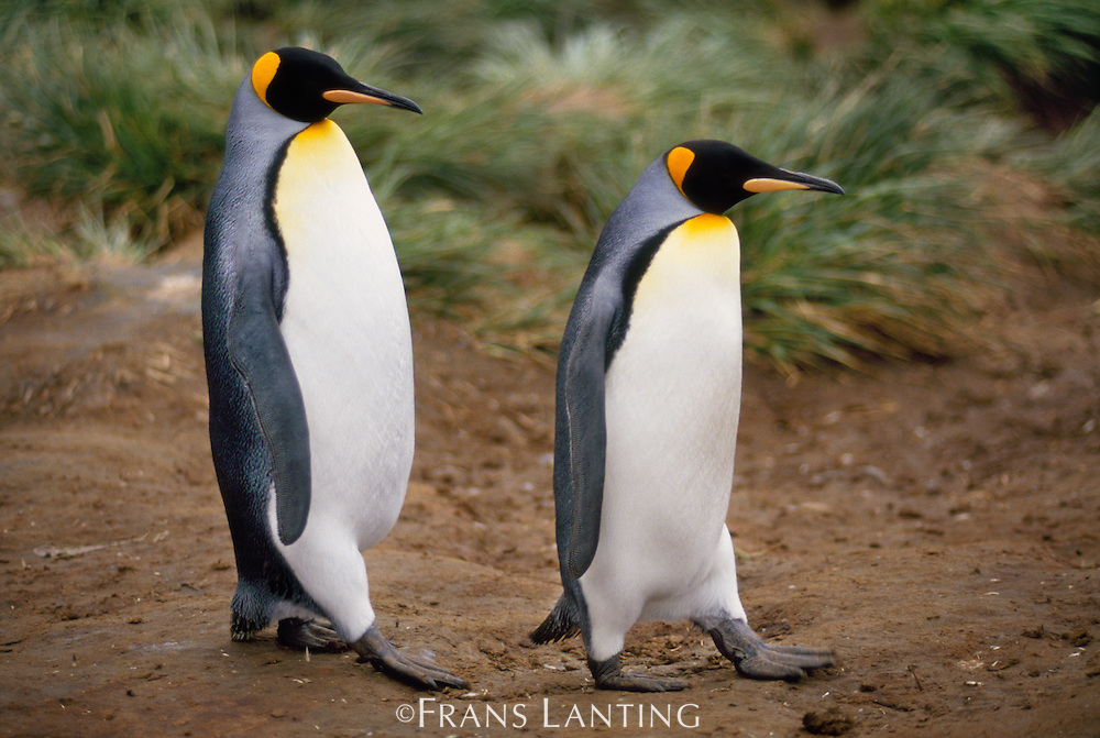 King penguins courting, Aptenodytes patagonicus, South Georgia Island