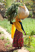 Indian woman villager working at farm smallholding carrying animal feed at Sawai Madhopur near Ranthambore in Rajasthan, India RESERVED USE - NOT FOR DOWNLOAD -  FOR USE CONTACT TIM GRAHAM