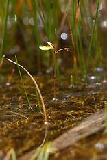 Klein blaasjeskruid, Utricularia minor