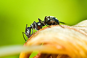 A black ant inspects a plant leaf.