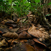 Hidden in the dense leaf litter of the rainforest floor, an Amazonian Horned Frog (Ceratophrys cornuta) lies in wait for its next meal. With a mouth wider than the length of its body, and a voracious appetite to boot, these frogs can consume prey as large as small reptiles and rodents. This species is widely distributed in the Amazon Basin, but nowhere particularly abundant. Yasuní National Park, Ecuador.