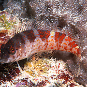 Saddle Blenny inhabit reefs, perch on bottom in Tropical West Atlantic; picture taken Key West, Florida Keys.