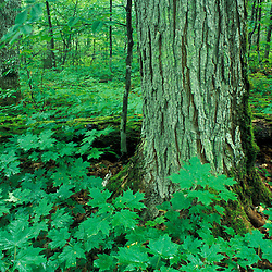 T8 R10 Wels, ME. Sugar maples, Acer saccharum, in an old-growth hardwood forest.  The Nature Conservancy's Big Reed Forest Reserve.  Northern Forest.