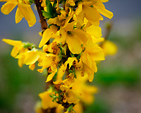 Forsythia Flowers. Image taken with a Fuji X-H1 camera and 80 mm f/2.8 macro lens