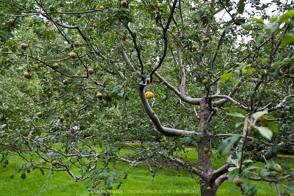Apple tree with a yellow sticky ball insect trap.