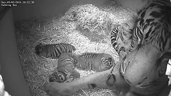 STRICTLY EMBARGOED FOR 00:01GMT, THURSDAY 13 MARCH 2014 © Licensed to London News Pictures. 12/03/2014. London, UK Three of the world's rarest tigers have been born at ZSL London Zoo, with zookeepers capturing their first moments on hidden cameras.The as-yet unsexed triplets were born to five-year-old Sumatran tigress Melati, on Monday 3 February 2014, after a 106-day pregnancy.. Photo credit : /LNP