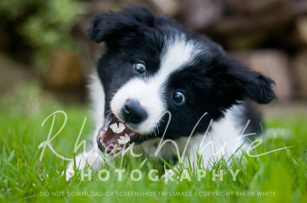 Dig the sweet Collie puppy. Highlights of images of dogs in the outdoors, by specialist dog photographer Rhian White.
