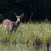 Rusa unicolor, Sambar Deer, in Phu Khieo Wildlife Sanctuary, Thailand.