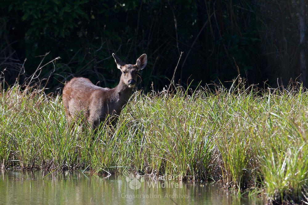 Rusa unicolor, Sambar Deer, in Phu Khieo Wildlife Sanctuary, Thailand.