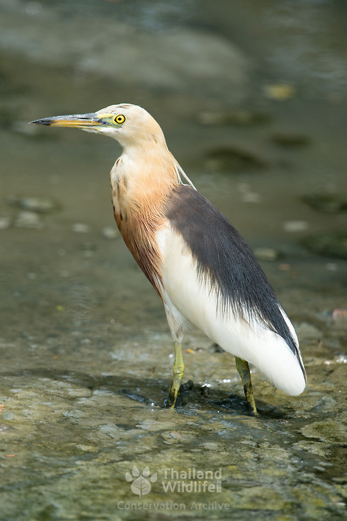 The Javan pond heron (Ardeola speciosa) is a wading bird of the heron family, found in shallow fresh and salt-water wetlands in