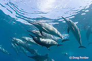 Hawaiian spinner dolphins or Gray's spinner dolphin, Stenella longirostris longirostris, pod with couple mating at center, Kona, Hawaii ( the Big Island ), USA ( Central Pacific Ocean )
