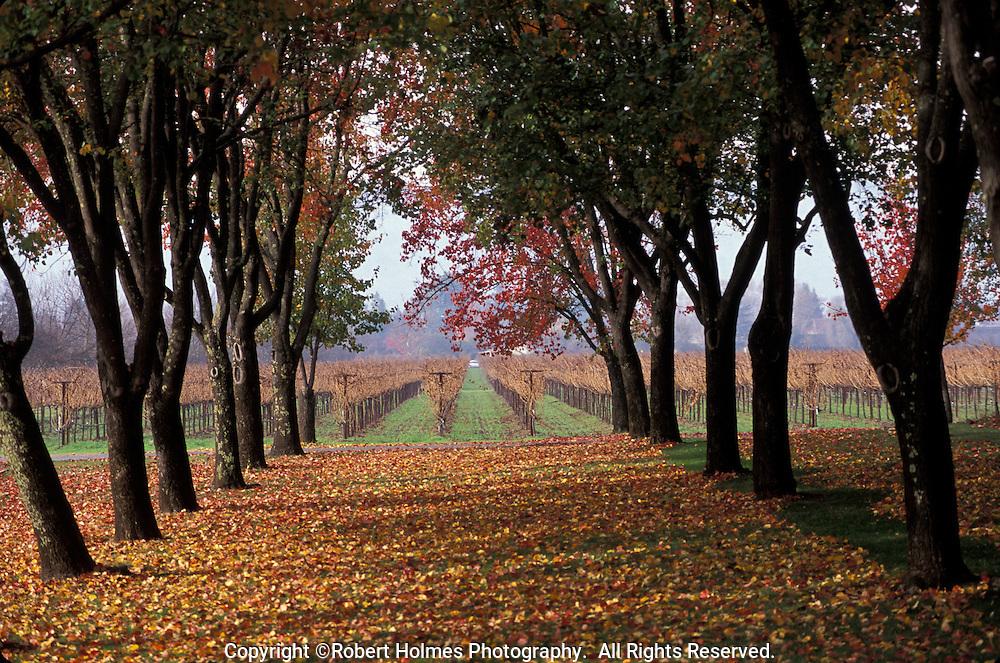 Cabernet Sauvignon vineyards in Rutherford, Napa Valley, California