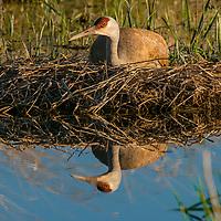 Nesting Sandhill crane, Bozeman, Montana.
