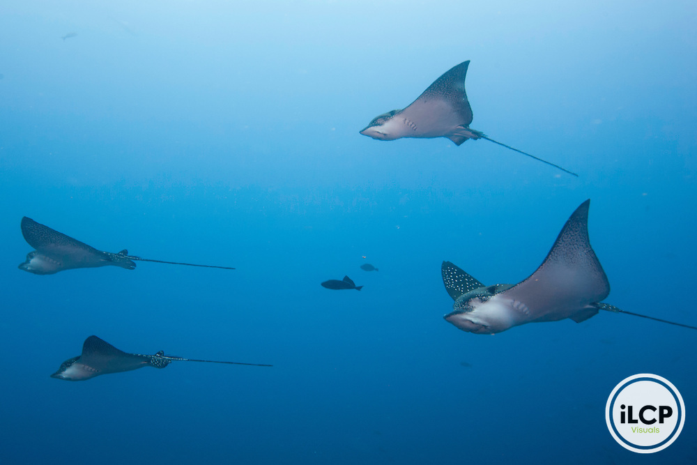 Graceful image from below of a spotted eagle rays (Aetobatus narinari)  Galapagos Islands, Ecuador.