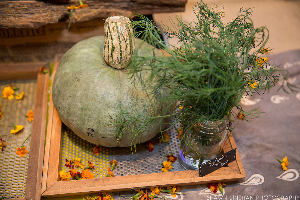 DILL, Anethum graveolens Showcase: 'Sighisoara Blue'<br />